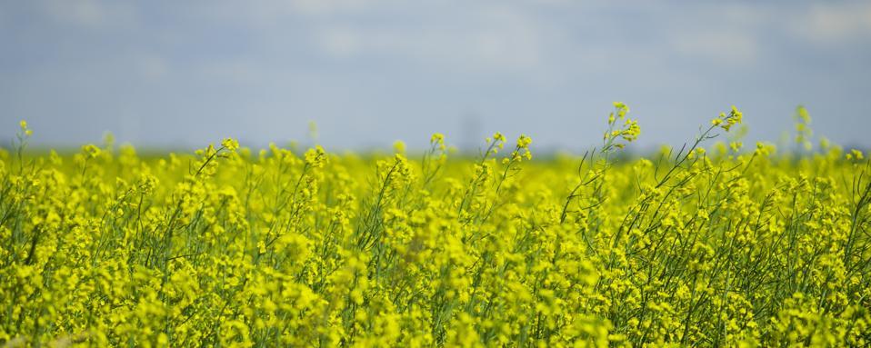 Canola Rapeseed field on a farm in Alberta