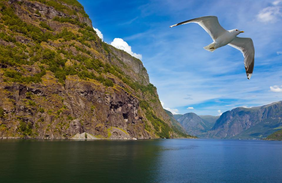 A bird flying through the Nærøyfjord in western Norway.