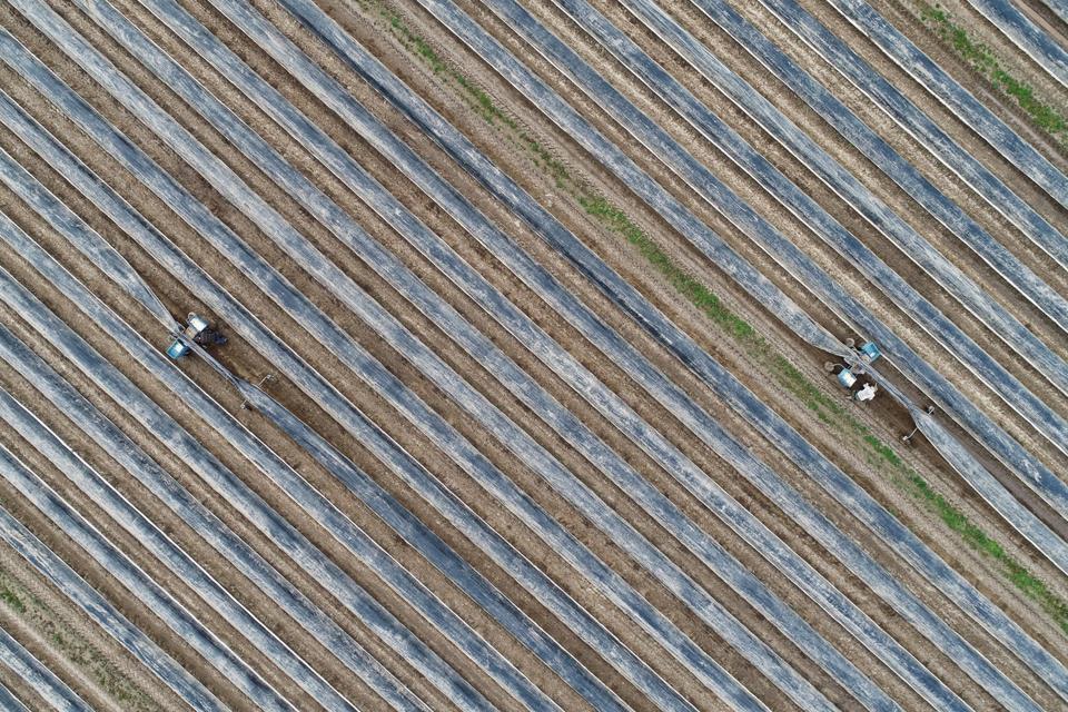 Workers harvesting asparagus.