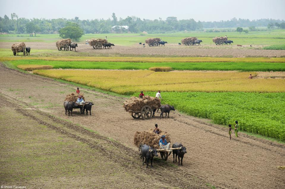 Food Photography competition: Rice growers bringing harvest in buffalo carts in Bangladesh