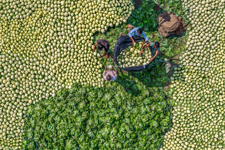 Food Photo Competition: Farmers in Banglesh packing cauliflowers and cabbages.