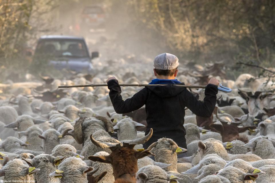 Young shepherd with a transhumant flock of more than 1000 sheep in Spain.