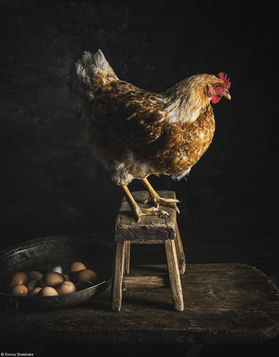 Food Photo competition:A hen next to her eggs.