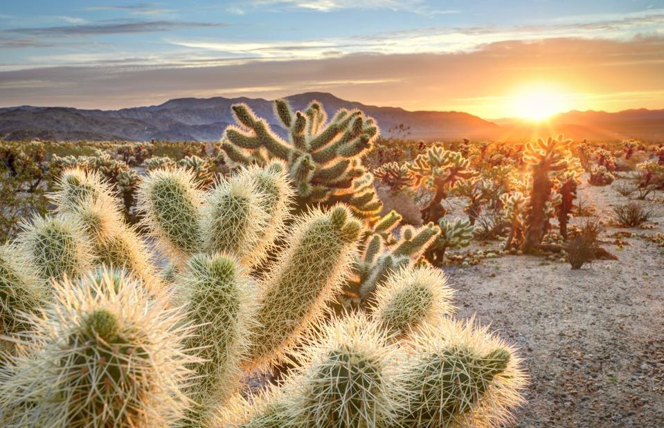 Ours en peluche cholla cactus dans Joshua Tree National Park au coucher du soleil, California USA