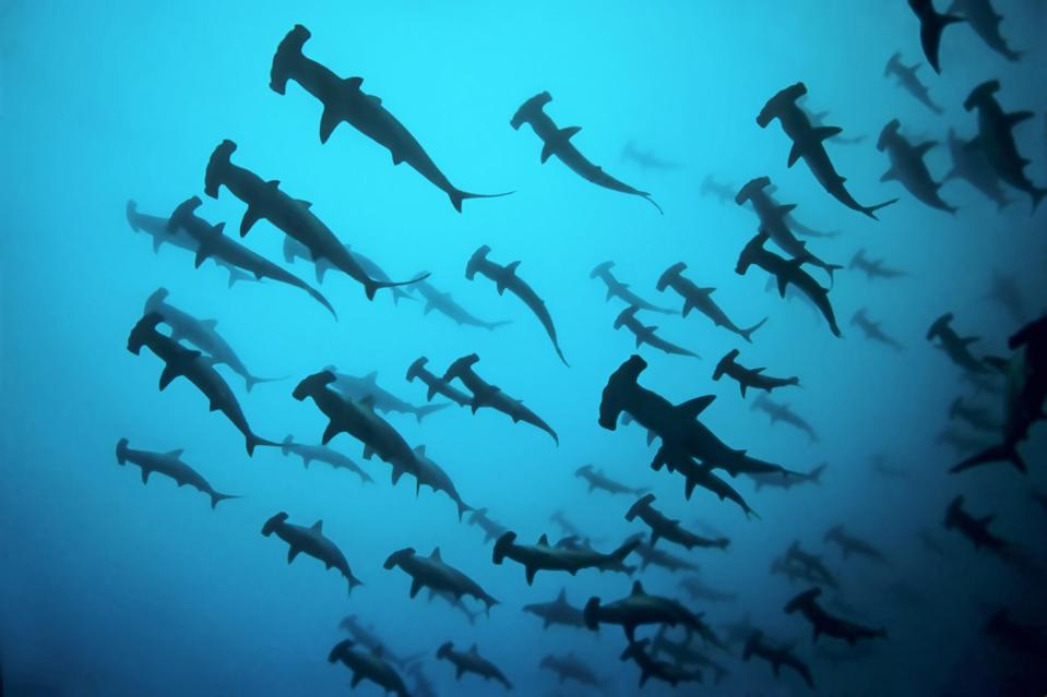 Fish school, shoal Scalloped Hammerheads ( Sphyrna lewini) in turbid water, thermocline, off Darwin Island, Pacific Ocean, Galapagos Archipelago, Ecuador
