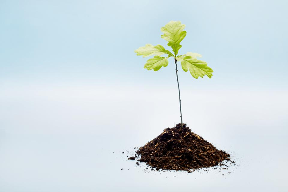 Small oak tree seedling and dirt on blue background