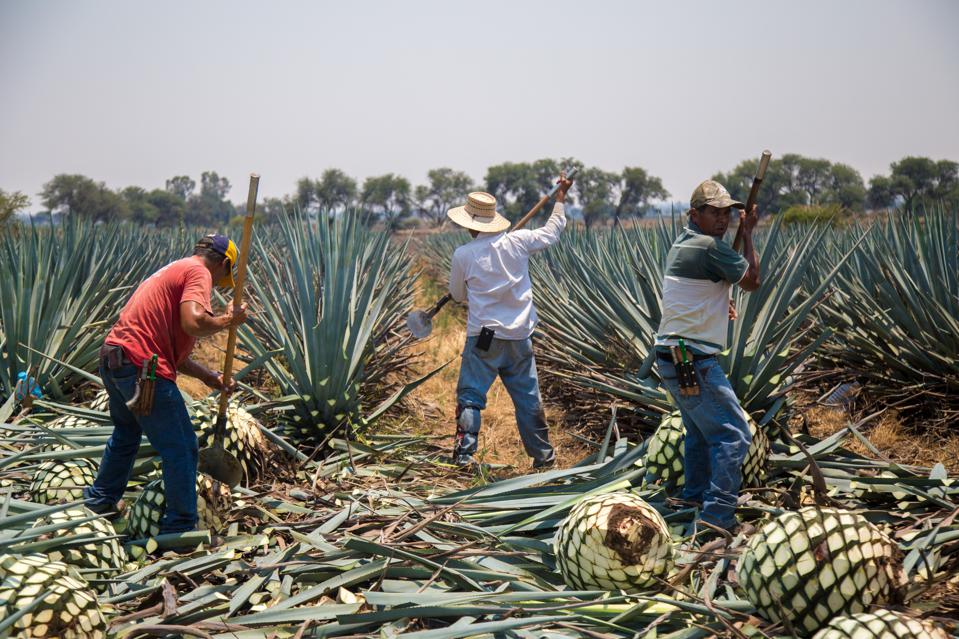 Jimadores harvesting agave