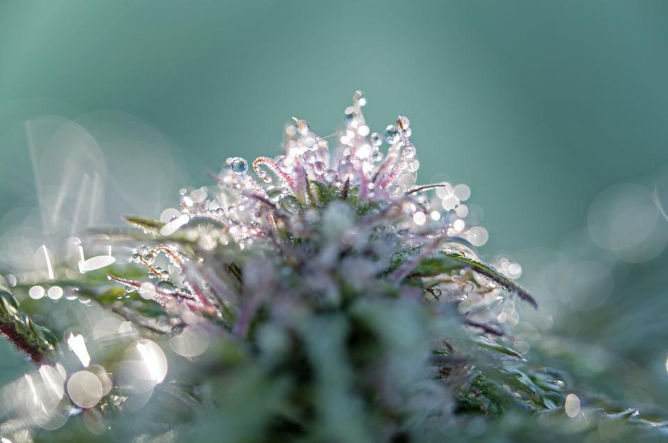 Cannabis Nausea
