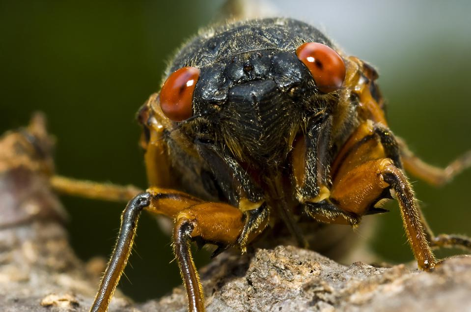 Cicada - Brood X