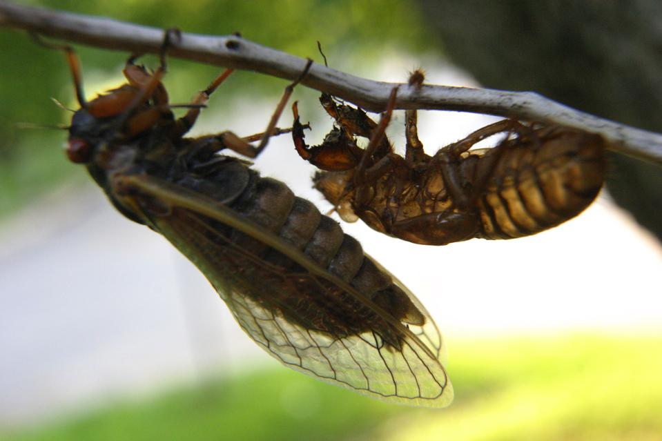 PH/Bugs- 5/11/04- Silver Spring, MD- The onslaught of cicadas i