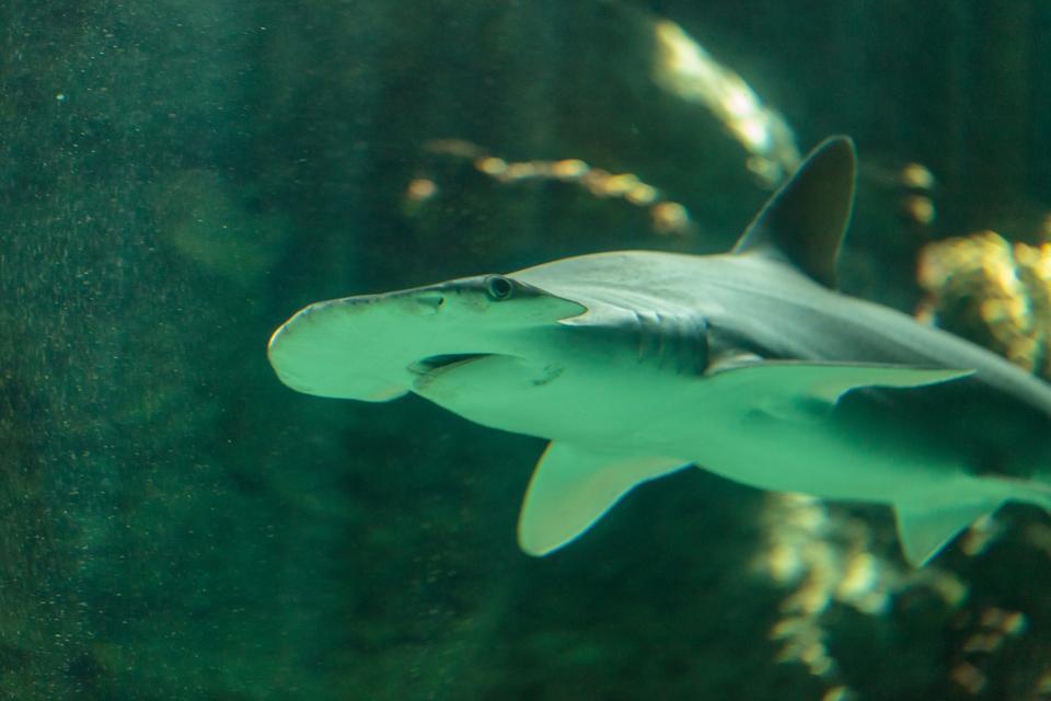Bonnethead shark Sphyrna tiburo