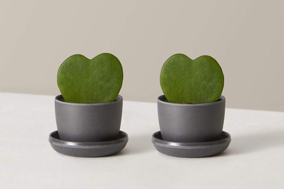Hoya Heart Duo