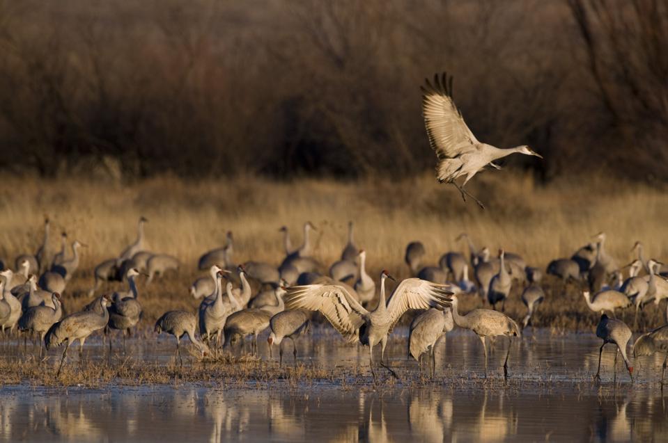 Sandhill Cranes, Grus Canadensis, Bosque Del Apache, New Mexico, USA