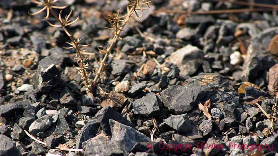 The black schist (slate) llicorella soil in Priorato