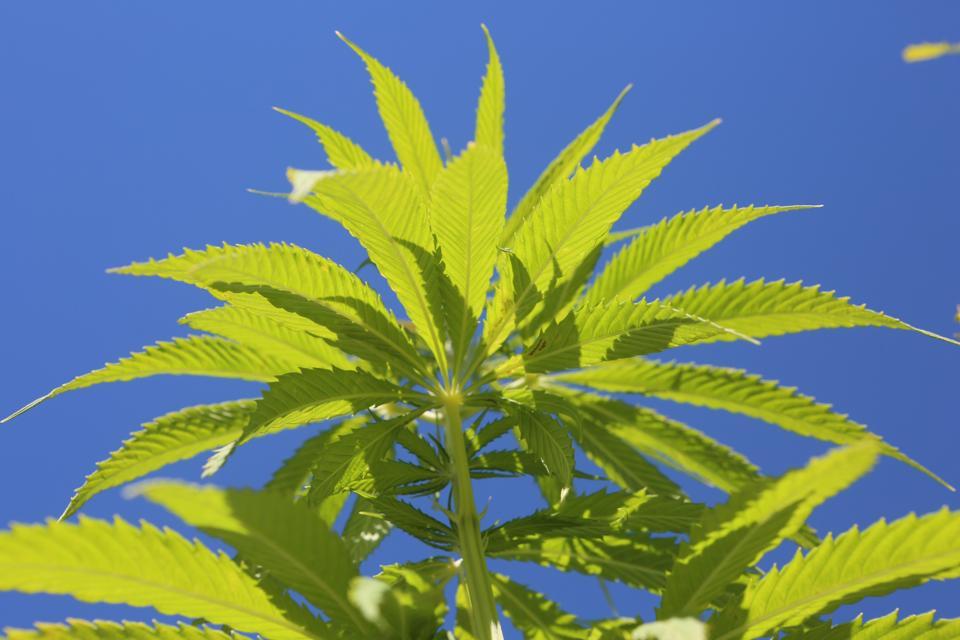 Green Hemp plants in a field against blue sky