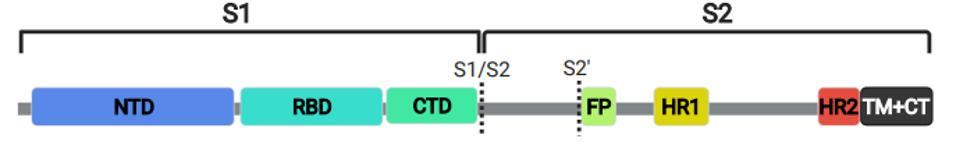 SARS-CoV-2 Spike Protein