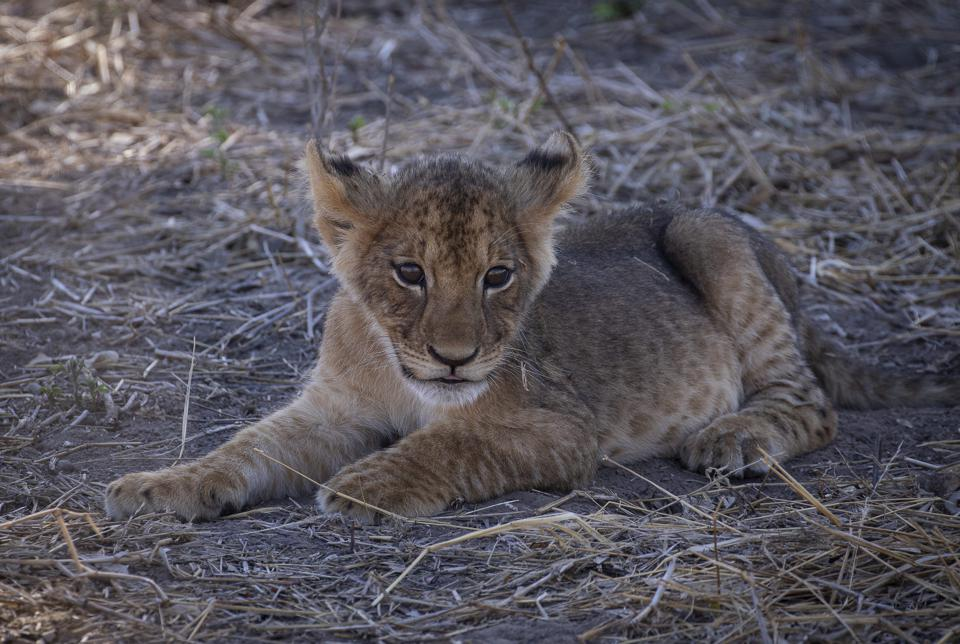 Born Free: this lion cub remains free, but there could be as many as five times as many lion cubs born into captivity presently in South Africa