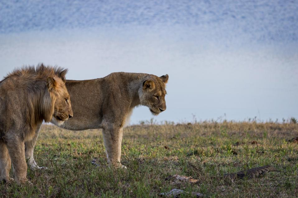 Lions at Cheetah Plains