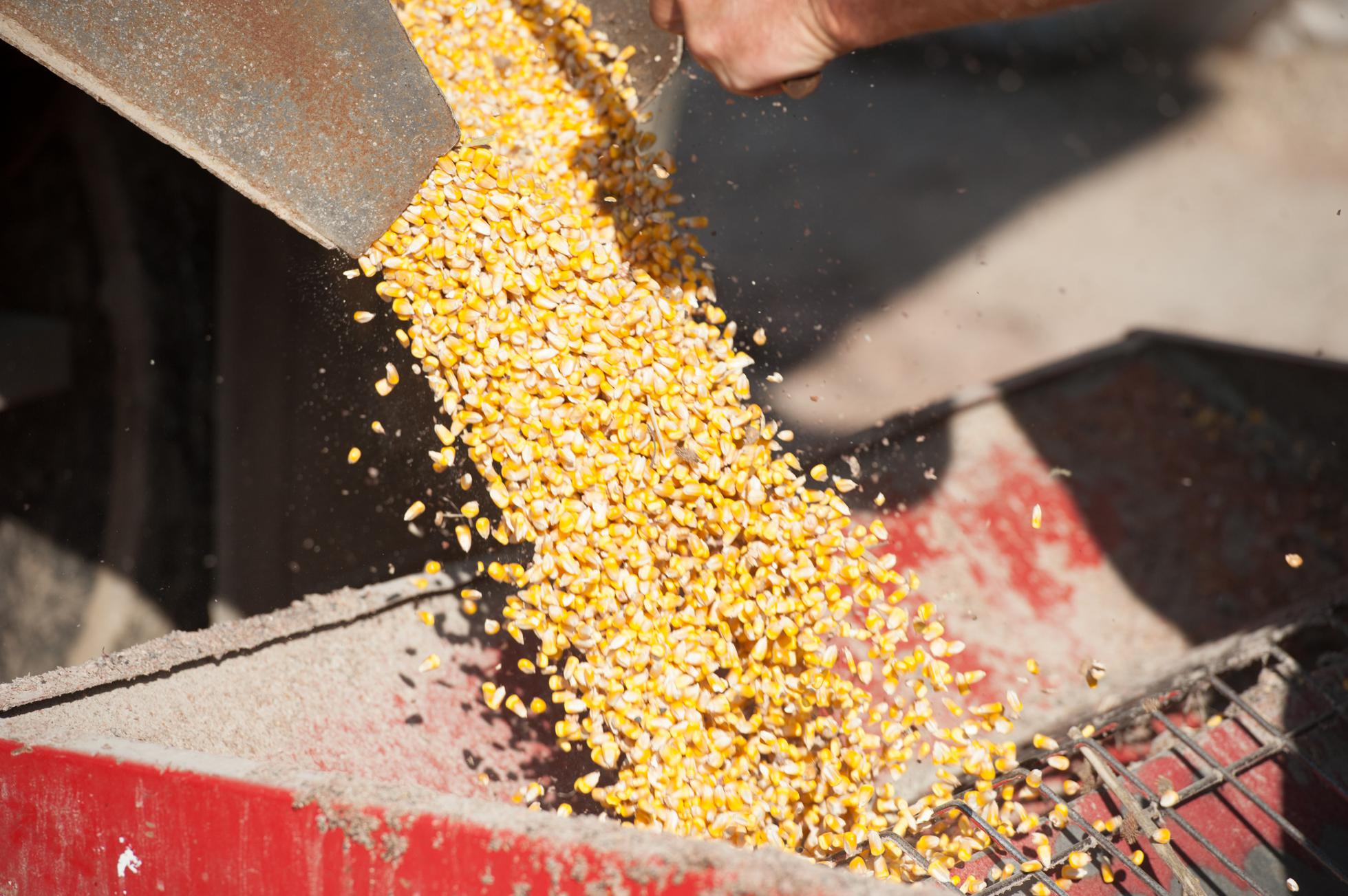 Corn harvested and stored in silo