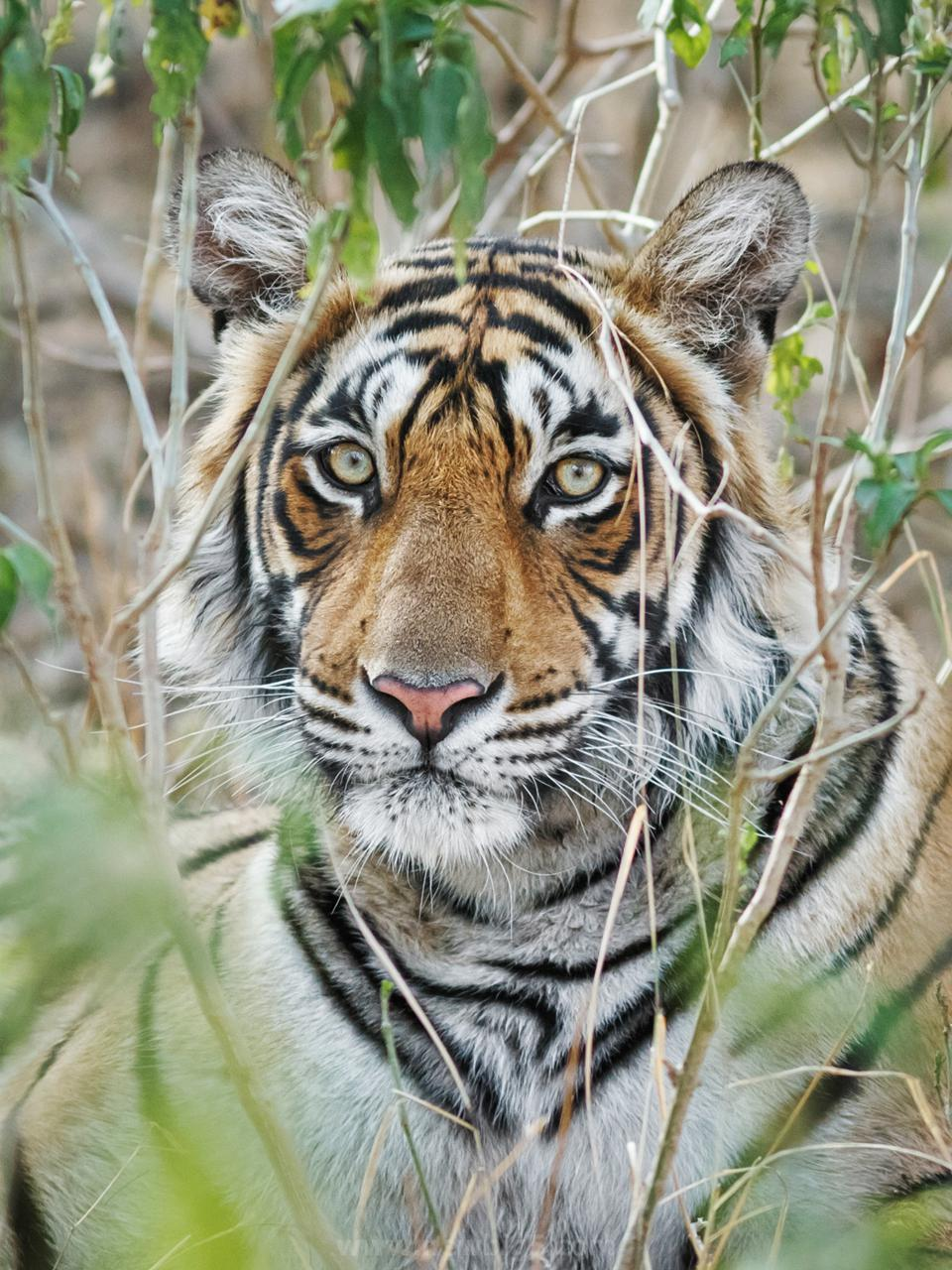 Bengal Tiger Portrait Of The Face