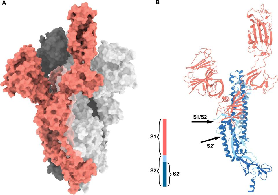 This figure shows the structure of the spike protein in SARS-CoV-2.
