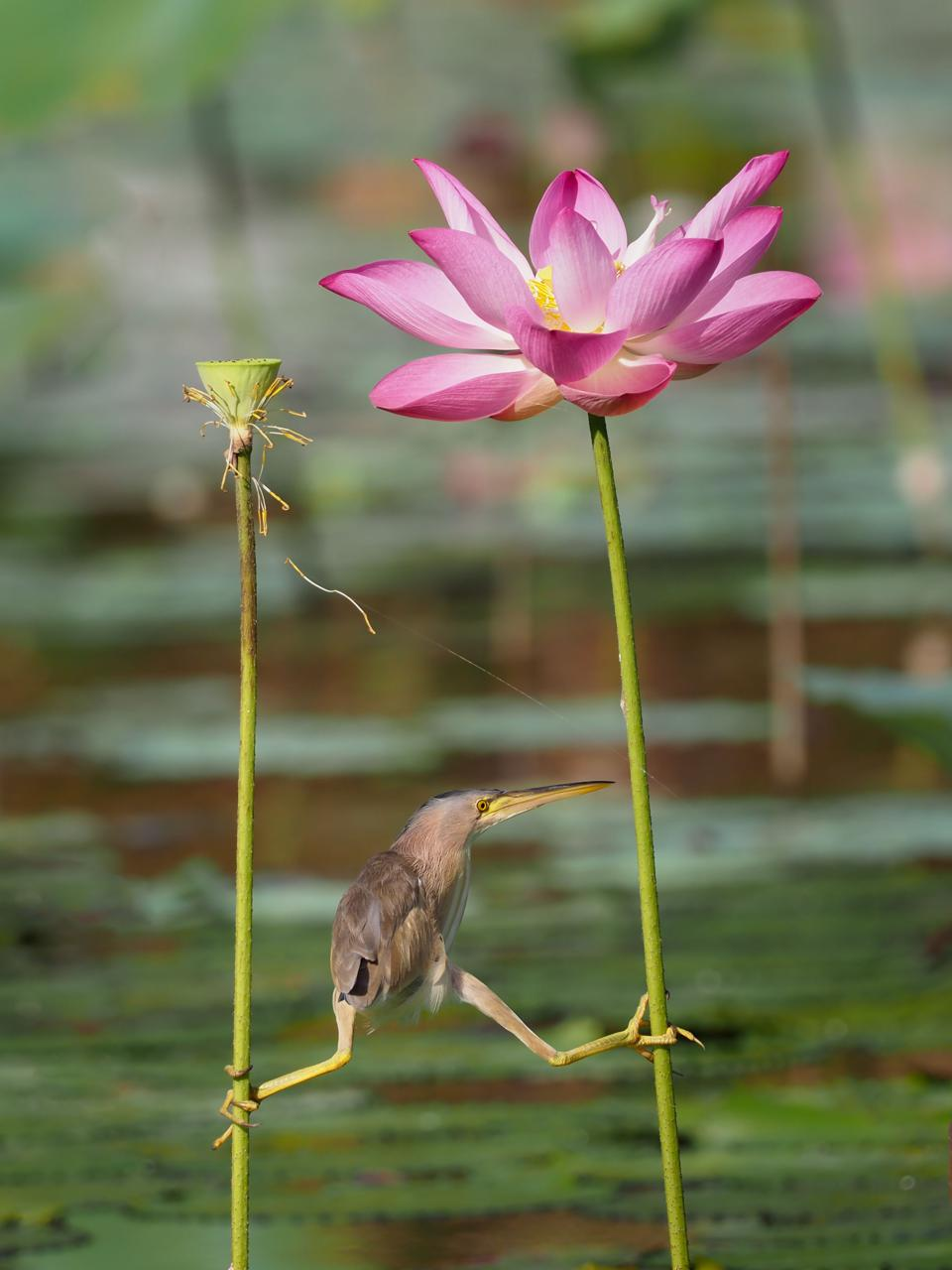 Un pájaro colgando de flores de loto.