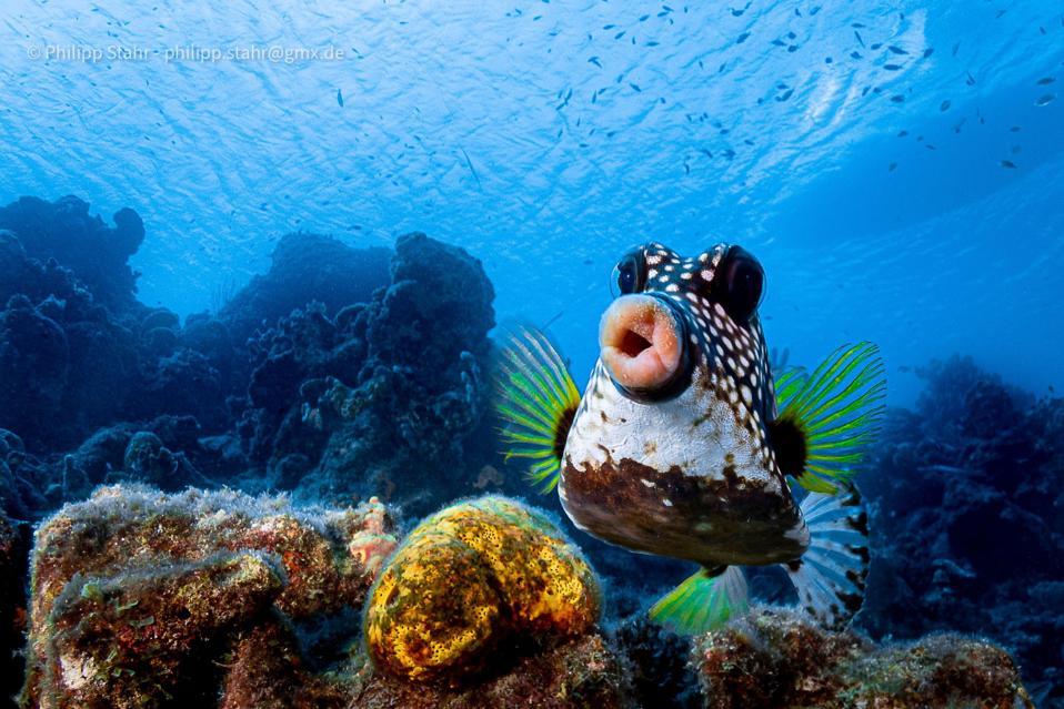 El pez cofre rara vez se fotografía en el Caribe.