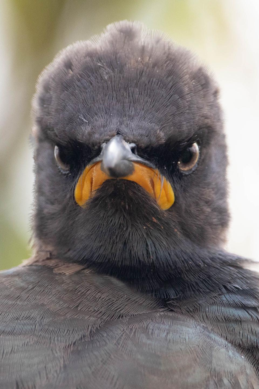 Cómic Starling Pied-Hand.  Pájaro gruñón.