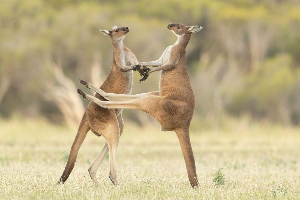 Dos canguros peleando.
