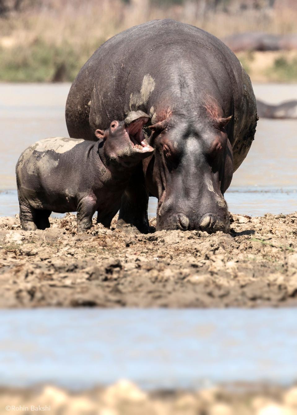 Bebé hipopótamo con su madre.