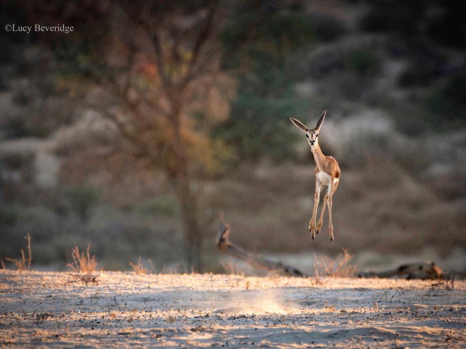 Saltos jóvenes de Springbok.