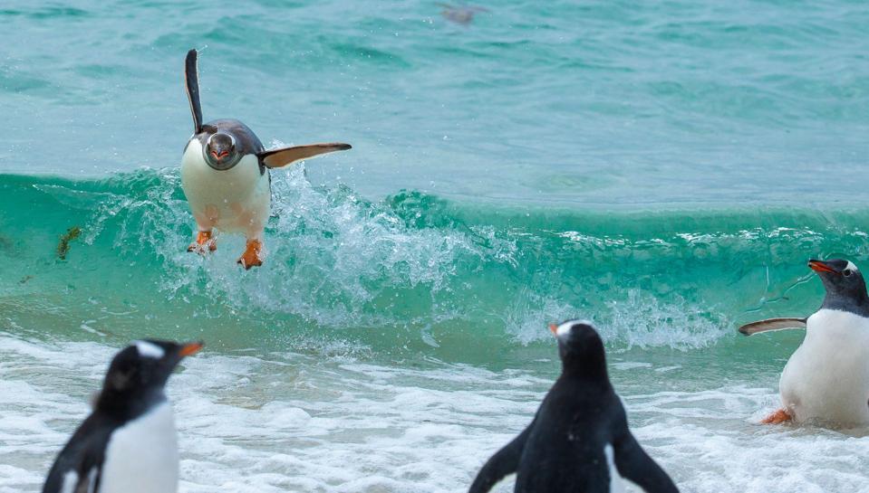 Los pingüinos surfean las olas para aterrizar.