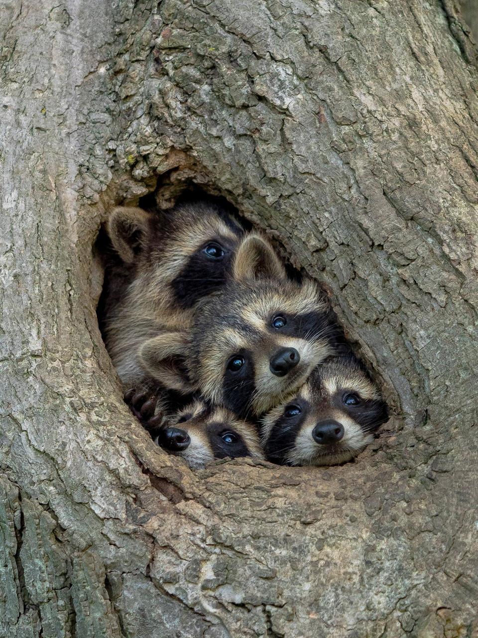 Cinco mapaches jóvenes miran a través del agujero de un árbol.