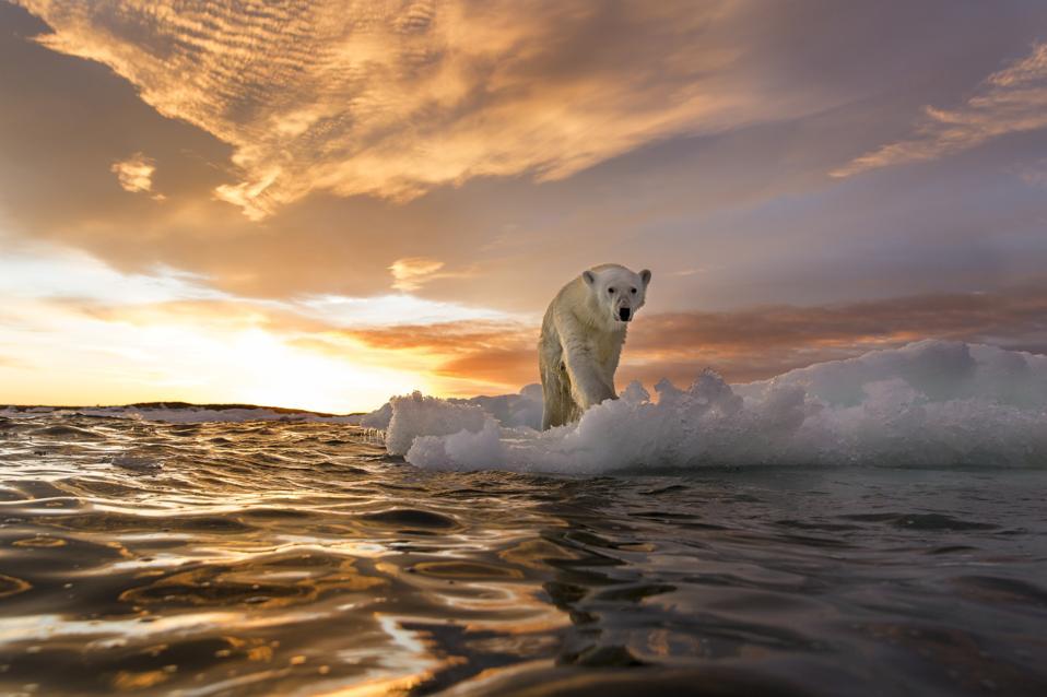 Oso polar, Repulse Bay, Nunavut, Canadá