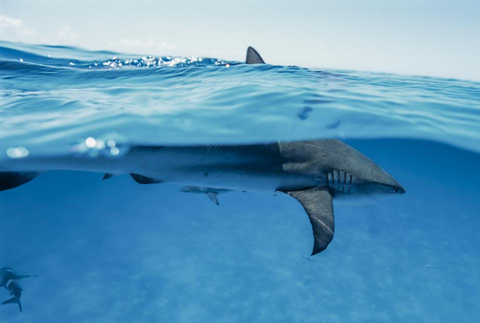 Caribbean reef shark touching the surface