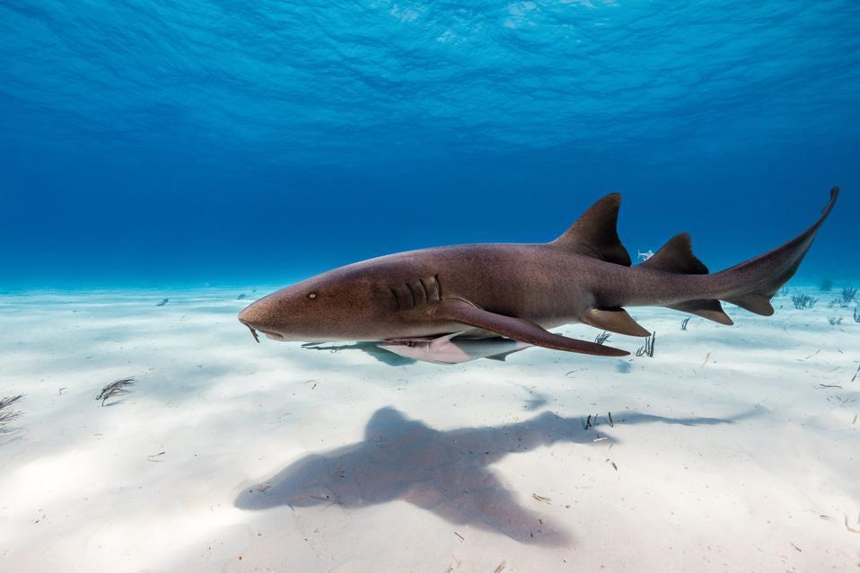 Nurse sharks on sandy bottom