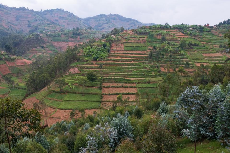 A terraced hillside of fields in Northern Province, Rwanda.