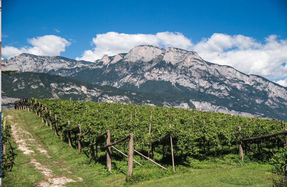 Il vino Trentodoc è prodotto da uve coltivate in vigneti coltivati tra i 200 ei 900 metri sul livello del mare.