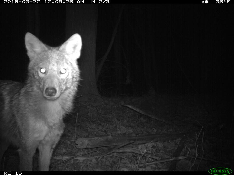 Nighttime photo of a coyote at the Shiawassee National Wildlife Refuge in Saginaw County, Michigan, taken with an infrared camera.