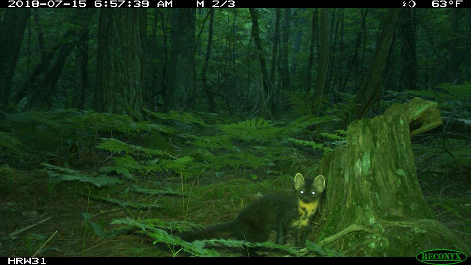 An American marten at the Huron Mountain Club in Michigan's Upper Peninsula, photographed in the early morning with a white-flash camera.