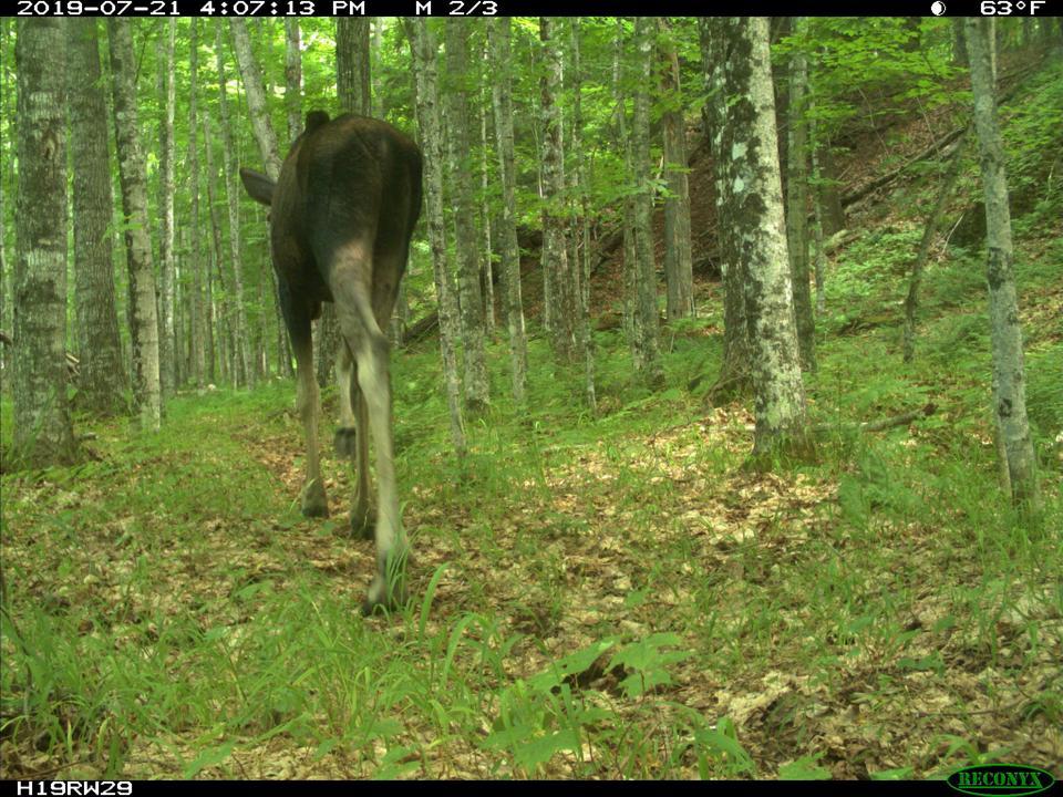 moose wildlife cam michigan study upper peninsula