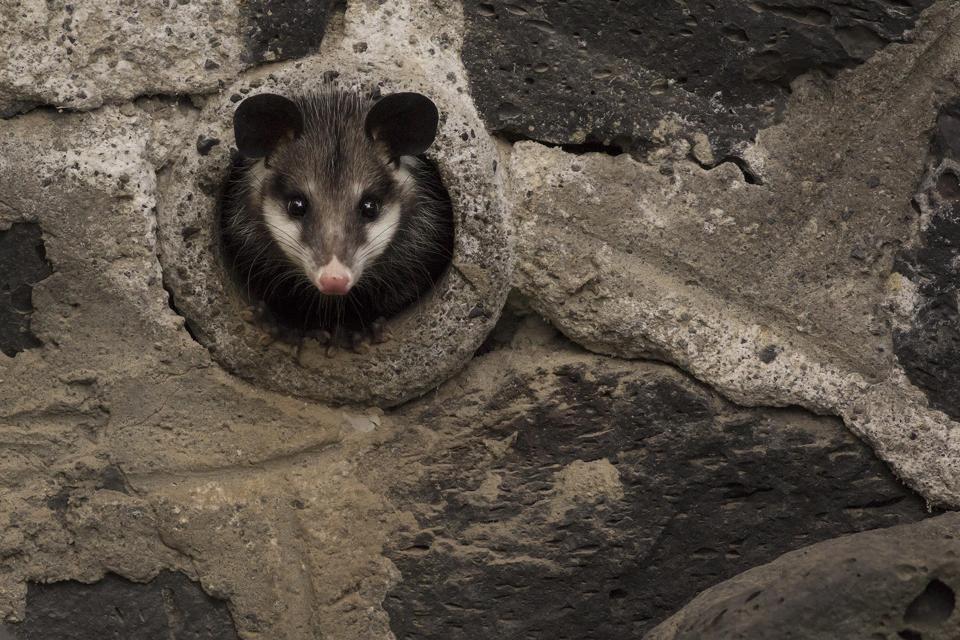 Una obra urbana (Tidelbis marsupialis) en un complejo de departamentos en el sur de la Ciudad de México.  Esta especie es una de las criaturas más conocidas de la ciudad.
