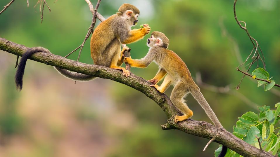 Κοινοί πίθηκοι σκιούρων που παίζουν σε ένα παιχνίδι κλάδων δέντρων