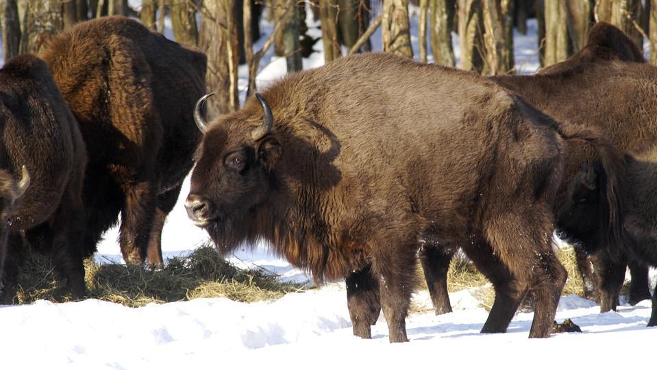 European Bison (Μπόνους Bison)