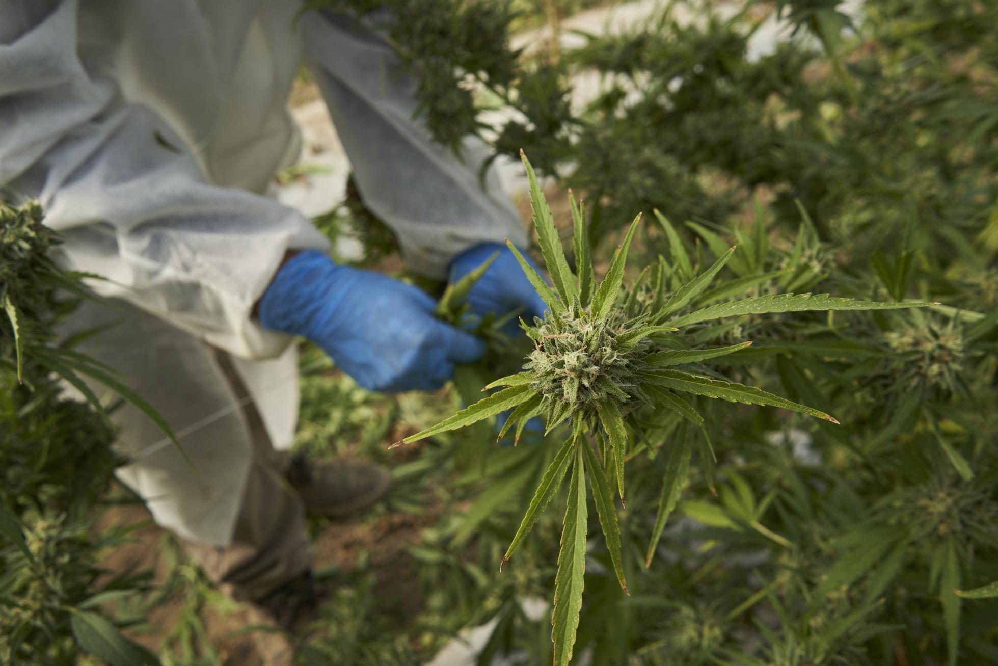 Cannabis cultivation in California