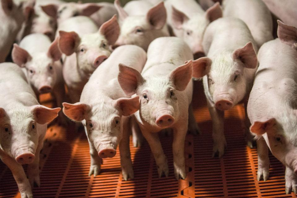 Operations At A French Pig Farm