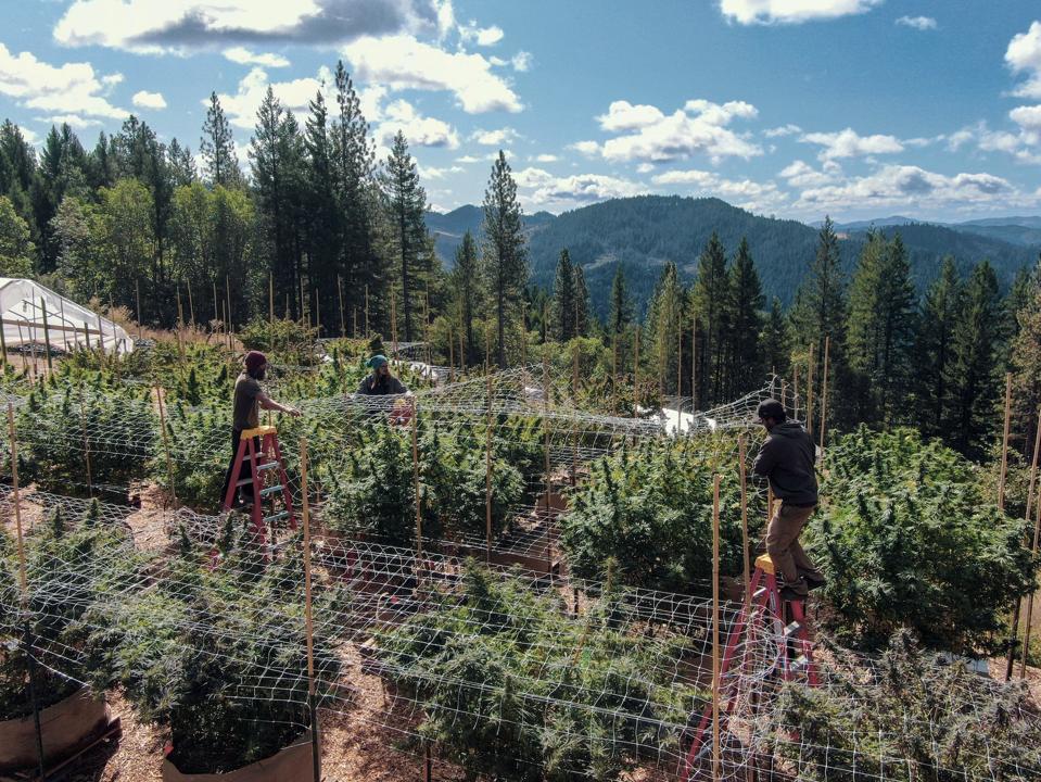 A cannabis farm in Humboldt