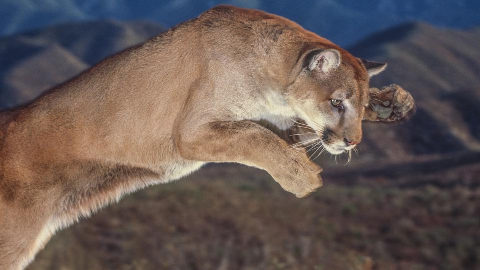 Cougar pounce