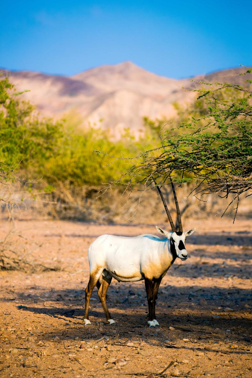 The long-horned gazelle stands in front of some pale green trees and a mountain.