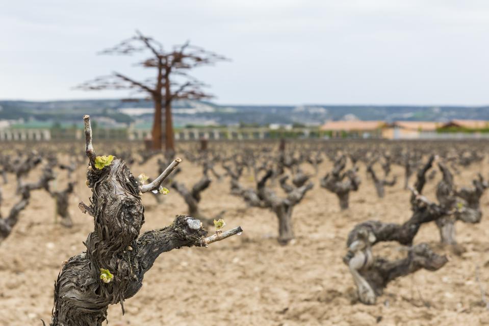 Old Vines on the Vega Sicilia Estate in Ribera del Duero, Spain